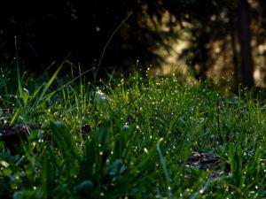 herbes rosée du matin